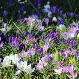Crocus 'Schothorst Mix...