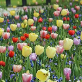 Enkele late tulpen mix