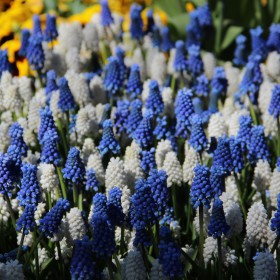 Muscari 'Magic Mix'