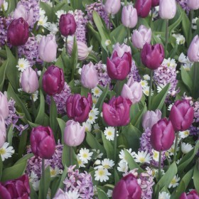 Tulipa 'Dynamic Change'®