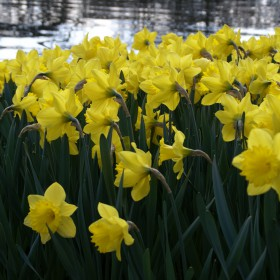 Narcissen 'Swanbury Yellow' ®