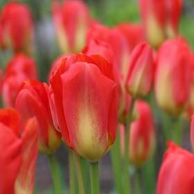 Tulipa 'Red Alert'