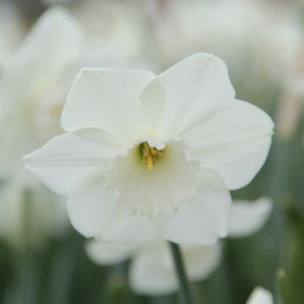 Narcissus 'Stainless'