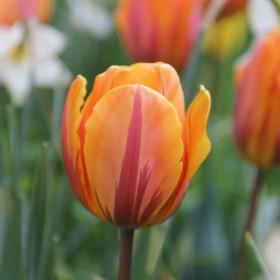Tulipa 'Prinses Irene'