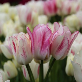 Tulipa 'Candy Club'