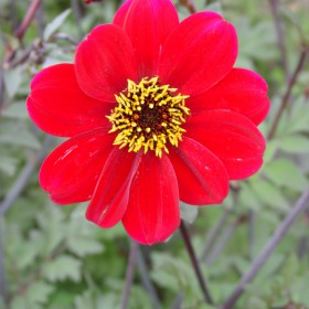 Dahlia 'Bishop of Auckland'