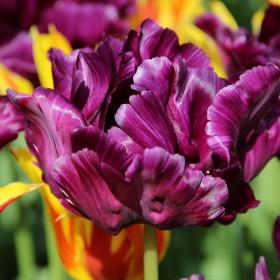 Tulipa 'Victoria's Secret'®