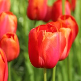 Tulipa 'Avignon'