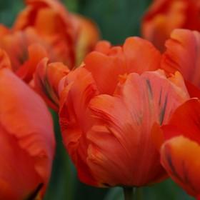 Tulipa 'Flower Power'