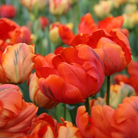 Tulipa 'Flower Power'