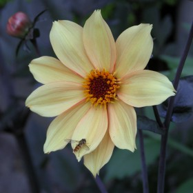 Dahlia 'Bishop of York'