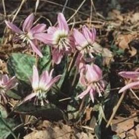 Erythronium dens-canis...