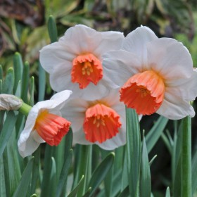 Narcissus 'Brook Ager'