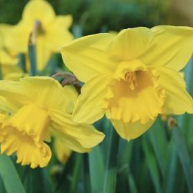 Narcissus 'Carlton'