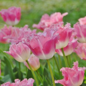 Tulipa 'Fancy Frills'