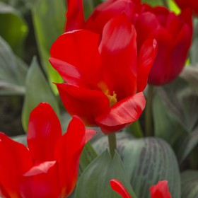 Tulipa 'Royal Anthos'