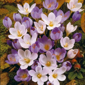 Crocus speciosus mix...
