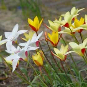 Tulipa 'Clusiana Mix'