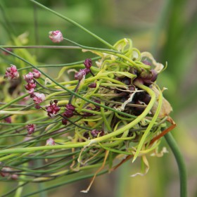 Allium scorodoprasum 'Art'®