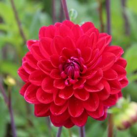 Dahlia 'Anne-Cornelia'