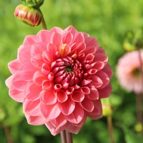 Dahlia 'Askwith Minnie'