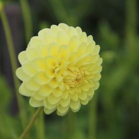 Dahlia 'Boom Boom Yellow'
