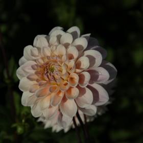 Dahlia 'Sweet Nathalie'