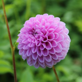 Dahlia 'Willowfield Matthew'