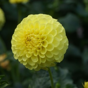Dahlia 'Golden Sceptor'