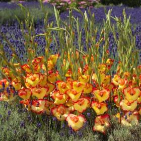Gladiolus primulinus 'Las...