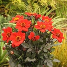 Dahlia 'Happy Days Scarlet'