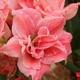 Hippeastrum 'Sweet Nymph' ®