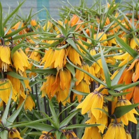 Fritillaria 'Early Dream'