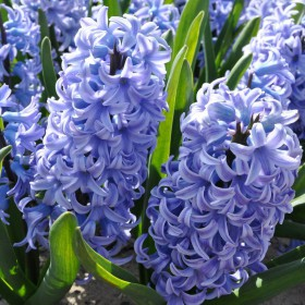 Hyacinthus 'Blue Giant'