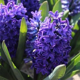 Hyacinthus 'Peter Stuyvesant'