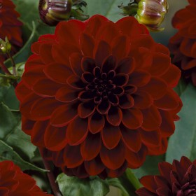 Dahlia 'Night Queen'