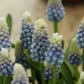 Muscari 'Mountain Lady'