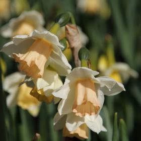 Narcissus jonquilla 'Sweet...
