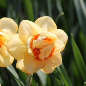 Narcissus 'Dinky'