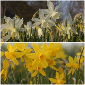 Narcissen 'Our Choice'®