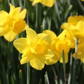 Narcissus 'Arkle'