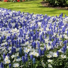 Anemone 'White Splendour' &...