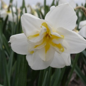 Narcissus 'Lemon Beauty'