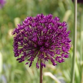 Allium aflatunense 'Purple...