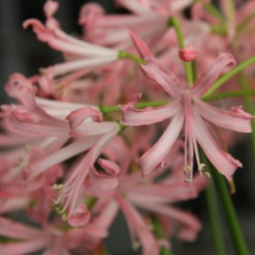 Nerine bowdenii -zalm-