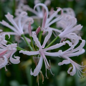 Nerine bowdenii 'Ostara'