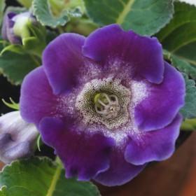 Gloxinia 'Tigré' -blauw-