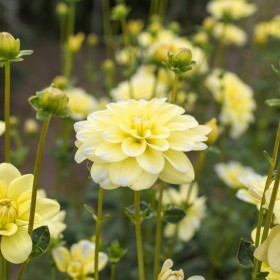 Dahlia 'Yellow Perception'