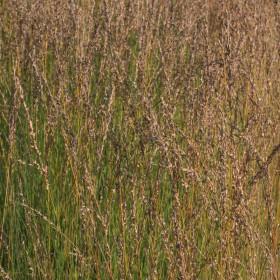 Molinia caerulea 'Heidebraut'