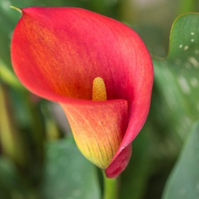 Zantedeschia 'Red Alert'